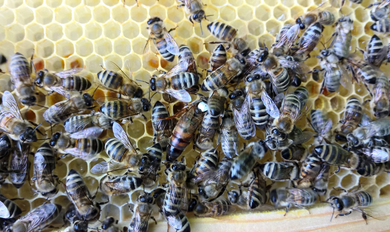 Mehiläiskuningatar