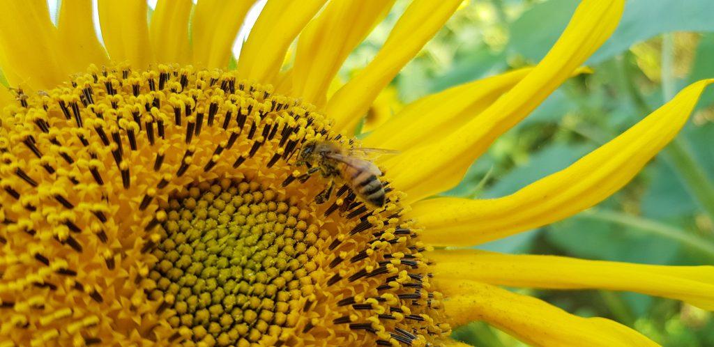 Mehiläinen auringonkukassa artikkeli miksi hunaja ei ole vegaanista?