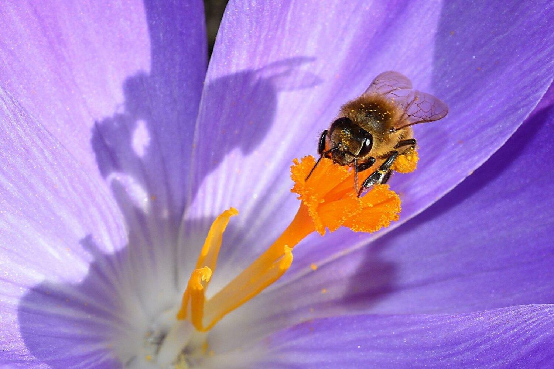 Puutarhan pölyttäjät mehiläinen krookuksessa