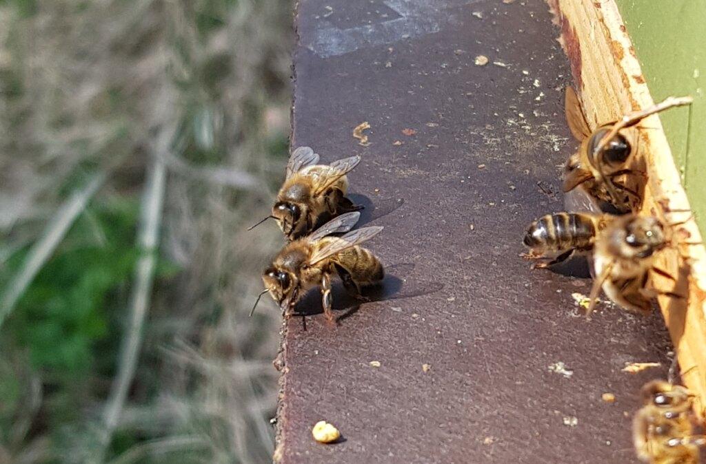 Mustat mehiläiset