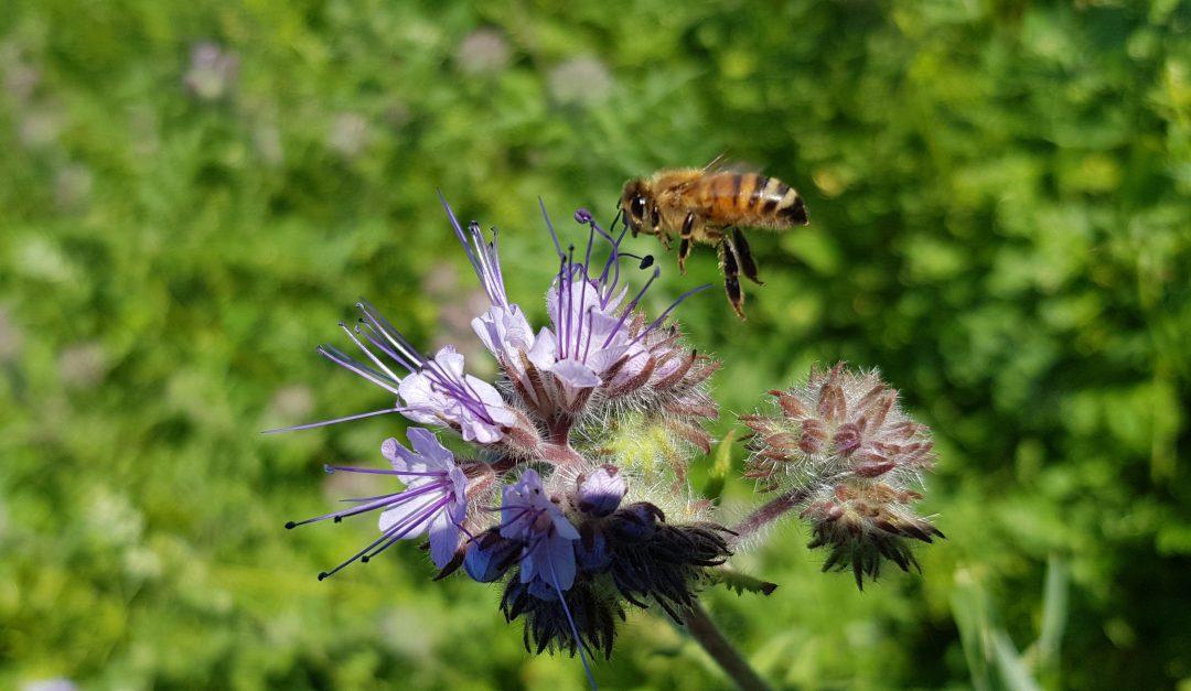 Mesikasvikesannon perustaminen